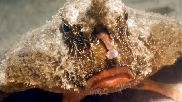 CLOSE-UP FACE VIEW OF BATFISH