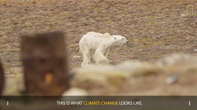 polar_bear_