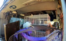 More than 300 rats were found living inside a van with their owner in California.