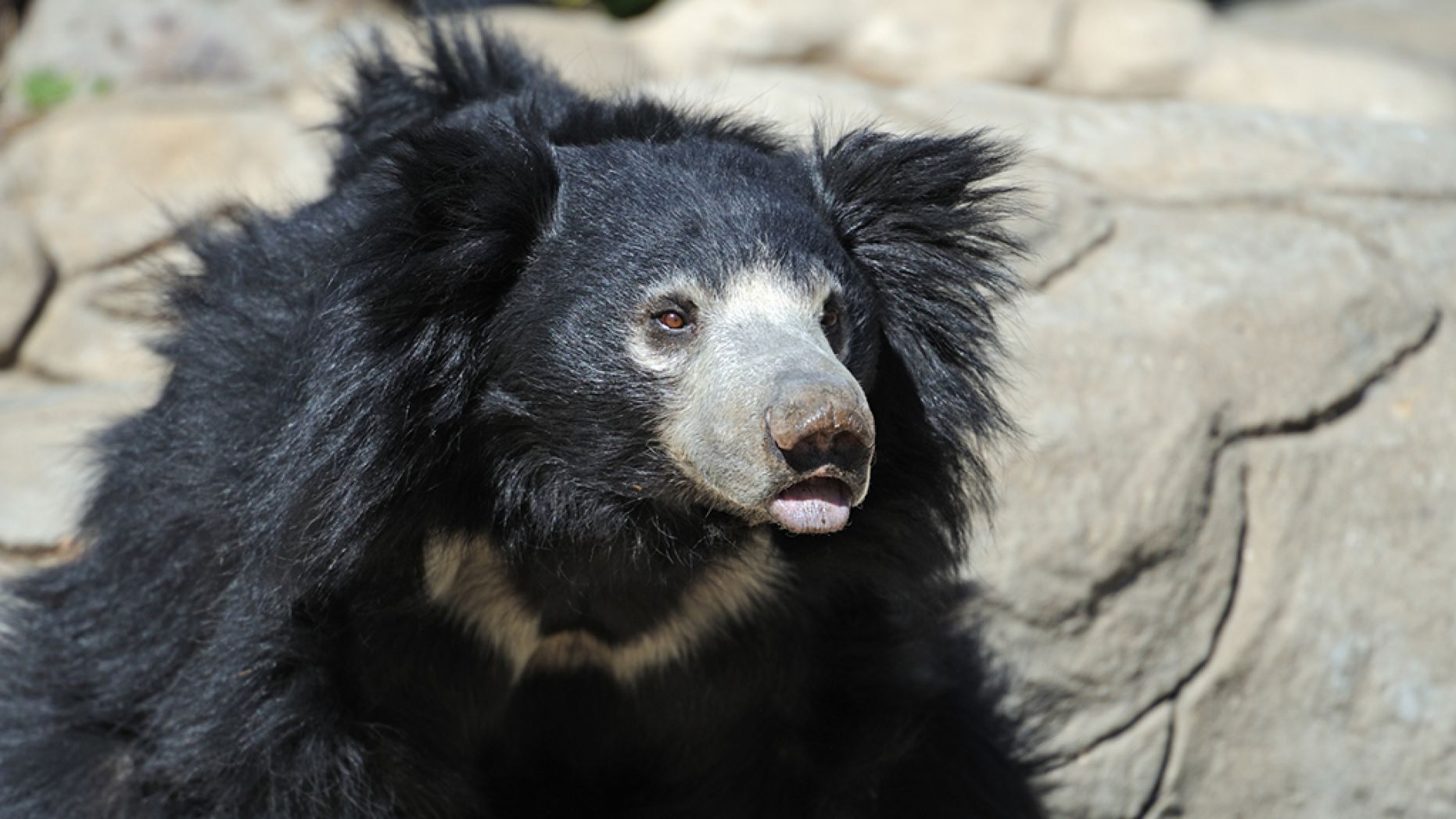 "An Indian man identified as ""Yarlen"" allegedly ate sloth bear genitalia to boost his sex drive, officials said."