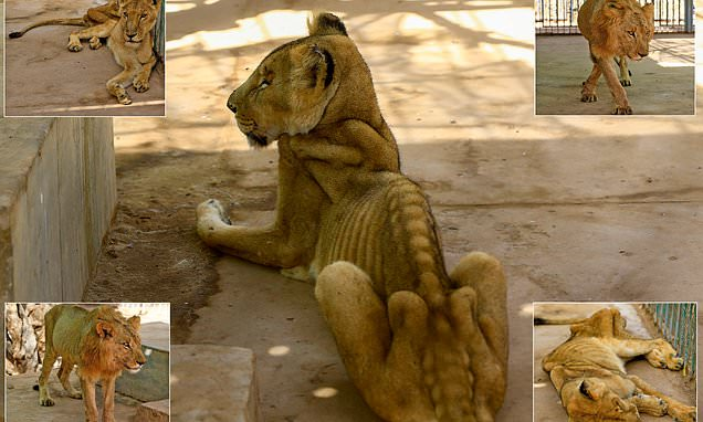 For weeks now, five lions held at Khartoum's Al-Qureshi Park in an upscale district of the capital have been suffering from shortages of food and medicine.