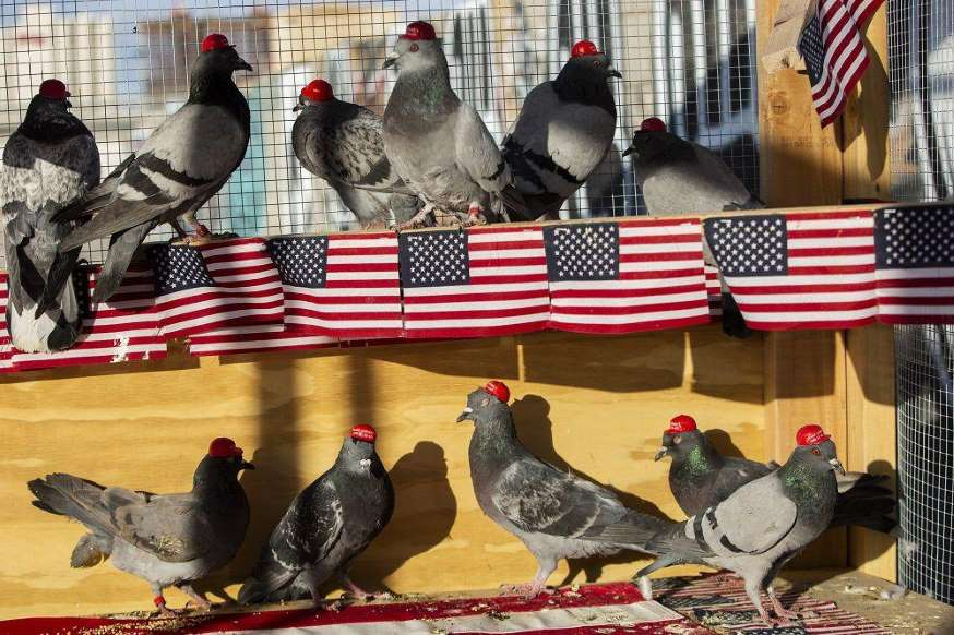 © P.U.T.I.N. Pigeons wearing MAGA hats.