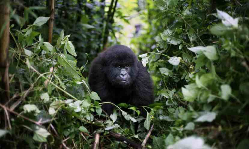 A young mountain gorilla in the Virunga national park, which has been the scene of numerous violent attacks.