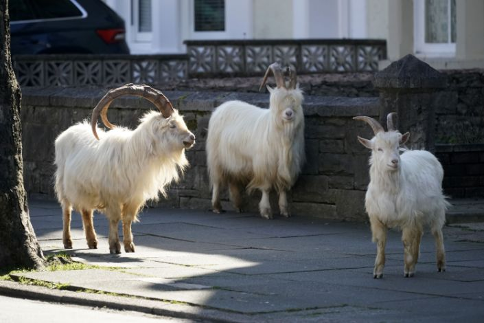 Mountain goats roam the streets of Llandudno, Wales. (Getty Images)