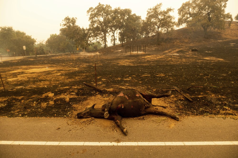 A dead cow rests on the side of a road after the LNU Lightning Complex fires tore through Vacaville, Calif., on Wednesday, Aug. 19, 2020. Fire crews across the region scrambled to contain dozens of wildfires sparked by lightning strikes as a statewide heat wave continues.