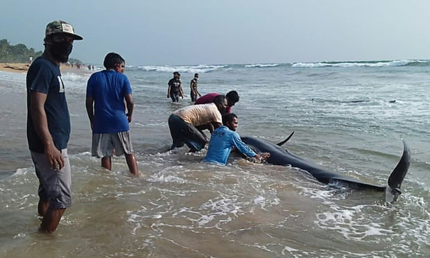 Volunteers try to push back a stranded short-finned pilot whale on Panadura beach, Sri Lanka.