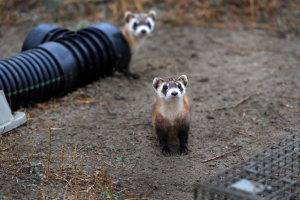 According to the U.S. Fish and Wildlife Service, the black-footed ferret is one of North America's rarest land animals and is native to the Great Plains.